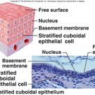 Stratified Cuboidal Epithelium - protection of larger ducts - urethra and sweat glands