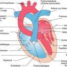 Herz – Vorhöfe, Kammern & Herzklappen
