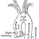 The Aorta   Human Anatomy