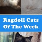 Ragdoll Cats of the Week