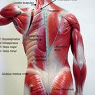 The Axis: The Back II - Muscles.