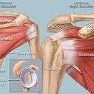 Shoulder Human Anatomy Image, Function, Parts, and More