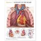 Heart Anatomy Chart Laminated | Cardiac Veins & Arteries HC1000