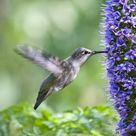 10 inch Photo. Hovering Black-Chinned Hummingbird