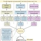 Metabolic Pathways: How Ketosis Works