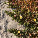 California coastal sea figs