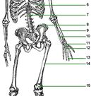 Introduces The Skeletal System - Lesson Tutor
