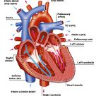 DK Science: Circulatory System