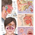 Ear Nose and Throat with Sinuses Anatomy Laminated Wall Chart with Digital Download Code