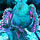 Octopuses Or Octopi