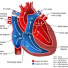 Anatomy of the Heart Blood flow through the Heart and the Heart Valves involved.
