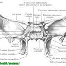 Клиновидная кость