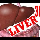 Liver Anatomy, Location and Function - eHealthStar