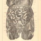 1903 Anatomy Human Intestines Original Antique Engraving   Etsy