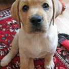 Labrador Retriever Mix