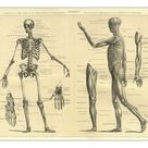 A1 Poster. Human Anatomy Skeleton and muscles of the body