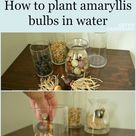 Plant an Amaryllis to Bloom During the Holiday Season