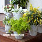 Mosquito Plants