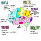 Anatomy and function of the brain