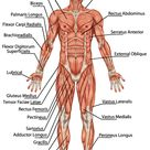 The Muscular System: How it Works