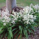 Renga lily, New Zealand rock lily (Arthropodium  cirratum) 'Te Puna'