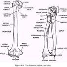Anatomy of radius & ulna & humerus