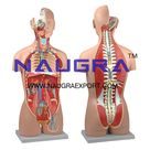 Human Torso, Dual Sex with Open Back 27-Part for Biology Lab Manufacturers, Suppliers & Exporters