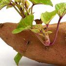Culture de la patate douce: plantation, soins. Tous les conseils de culture des légumes-racines