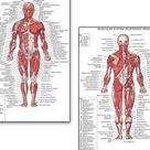 Muscle Anatomy Charts  Skeletal human Body Posters   Etsy