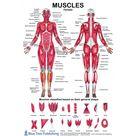 Female & Male Muscle Anatomical Chart
