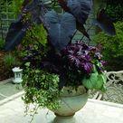 Elephant Plant
