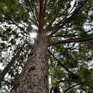 Gambar gratis di Pixabay - Hutan Pohon Pinus, Hutan, Taman