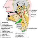Head and Neck - Areas/Organs - Mouth - Muscles