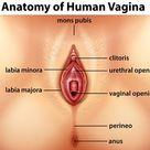 Baixar Diagrama mostrando a anatomia da vagina humana gratuitamente