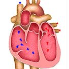 Your Heart & Circulatory System (for Kids)