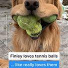 Crazy tennis ball loving golden 😆