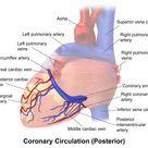 Coronary circulation - Wikipedia