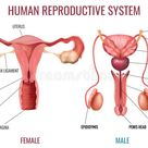 Realistic Human Reproductive System Stock Vector - Illustration of object, internal: 160067340