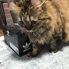 """""""Kitty dnd Kicks"""" . #🐈 #MeL #愛猫 #cat #neko #kitty  #nekostagram #catsagram  #ねこ #アメリカンカール #Americancurl #ねこ好き #ネコスタグラム #adidas #kicks #box #check7451 #indahash #IDH @adidas"""