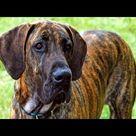 10 Funniest Great Dane Videos Youtube Great Dane Dogs Dogs