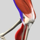 Muscles that act on the Anterior Thigh • Anatomy & Function