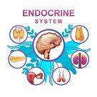 Human endocrine system, glands and their location in the body...