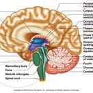 brain with labels