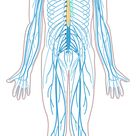 File:Nervous system diagram unlabeled.svg - Wikimedia Commons