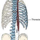 thoracis