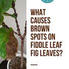 What Causes Brown Spots on Fiddle Leaf Fig Leaves?