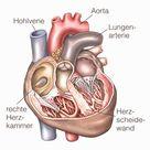 Herz - Aufbau, Funktion & Krankheiten