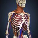 25cm Photo. Human upper body showing bones, lungs and
