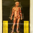 Muscle Anatomy Chart, Muscular System Vintage Anatomical Pull Down Chart, Anatomy Pull Down Chart, School Chart, Vintage Human Body chart.