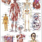 Der menschliche Körper Lehrtafel Anatomie 100x70 cm medizinische Lehrmittel • EUR 19,94